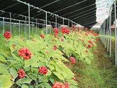 当社農園で栽培中の會津御種人蔘